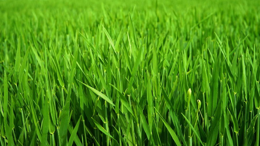 Agriculture Backgrounds Beauty In Nature Blade Of Grass Cereal Plant Close-up Crop  Day Farm Field Full Frame Grass Green Color Growth Land Landscape Nature No People Outdoors Plant Rural Scene Tranquility