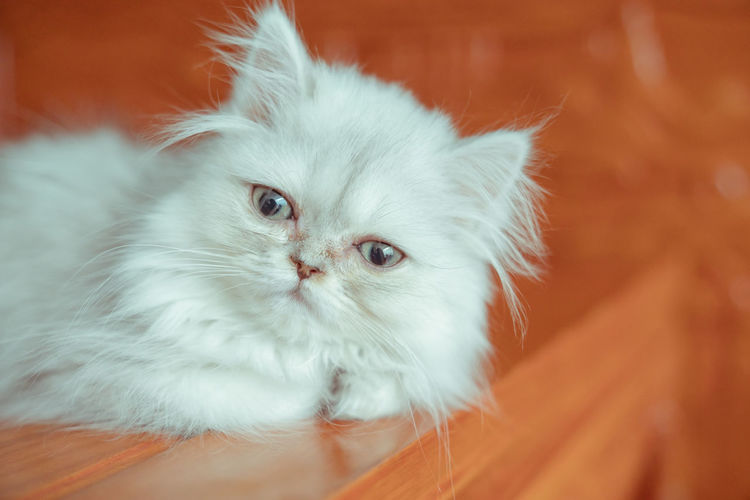 The pup of ginger cat. Artificial Cat Cat's Eyes Close-up Docile Ginger Hairstyle Kitten White Background Domestic Pets Domestic Animals Mammal Animal Themes Animal Domestic Cat Cat One Animal Feline Vertebrate Indoors  Looking At Camera Persian Cat  Whisker Portrait No People Young Animal Focus On Foreground Animal Head  Animal Eye