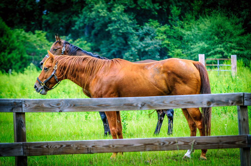 Two Horses In Pasture Fence Animal Black Brown Fence Field Grass Horse Livestock Mammal Nature Outdoors Pasture