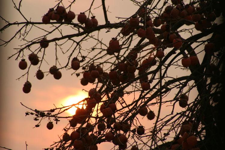 夕陽と柿のシルエット Tree Sunset Fruit Orange Color Sky Nature Outdoors Beauty In Nature Landscape Nature Photography