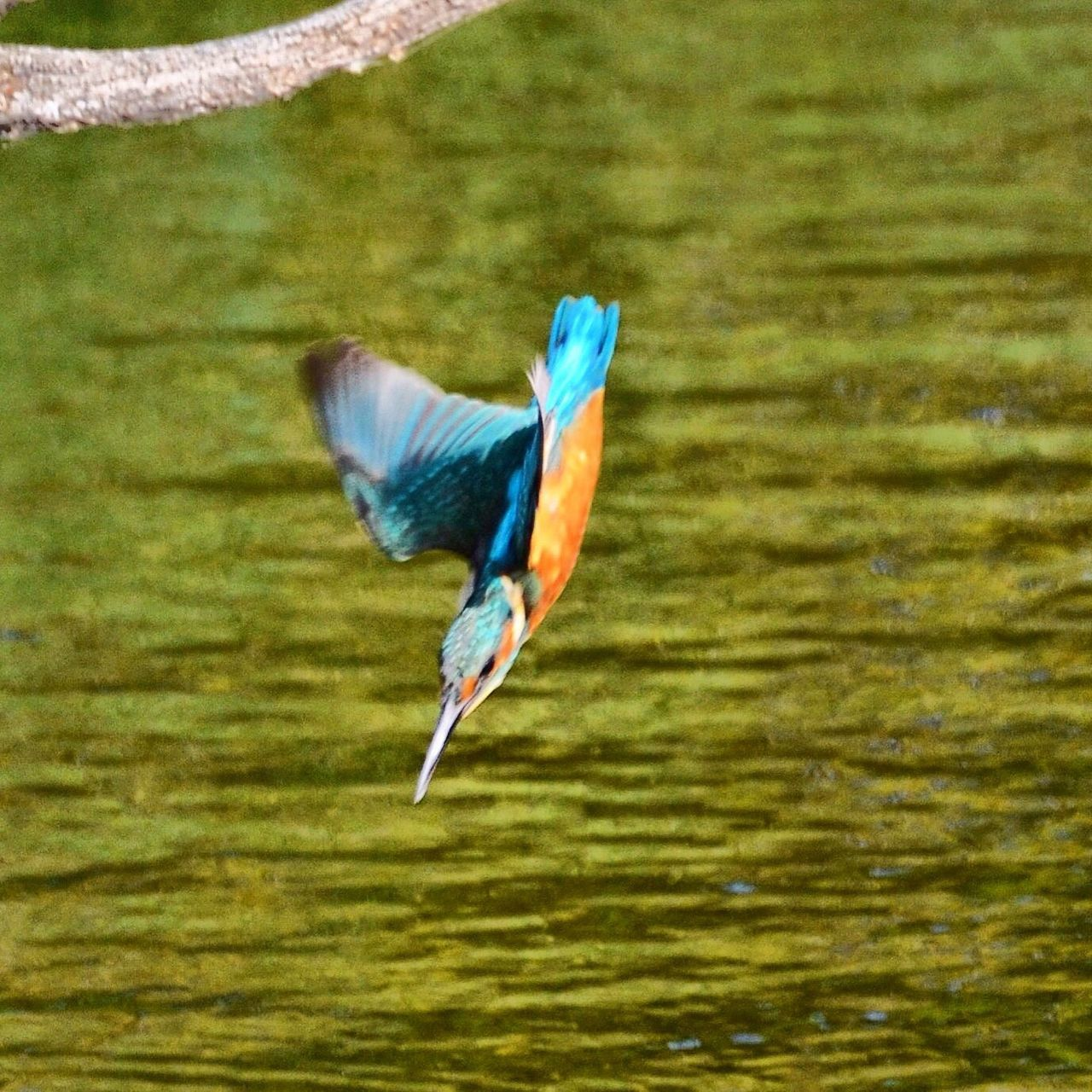 one animal, bird, animal themes, animals in the wild, animal wildlife, nature, no people, day, beak, spread wings, kingfisher, water, outdoors, close-up, flying, beauty in nature