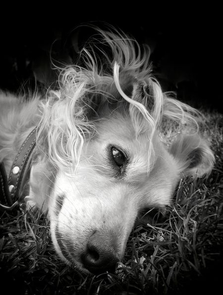 """Happy weekend, dear friends"" AntiM Dogs Of EyeEm Pet Portraits Animal Themes Blackandwhite Close-up Dog Dog Dreams Dog Lying Down Dogs Portrait Domestic Animals Grass Indoors  Lying Down Mammal My Dogs Are Cooler Than Your Kids Night No People One Animal Pets Portrait SweetSally"