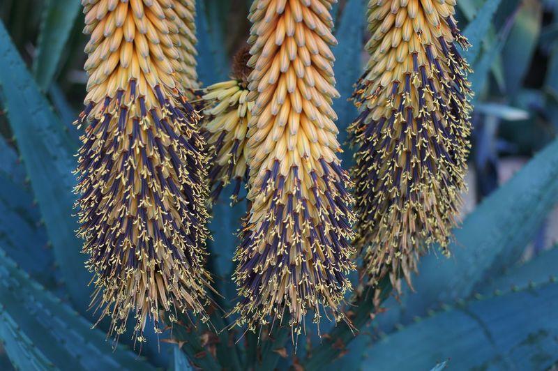 Close-Up Of Aloe Vera Flower Blooming At Park