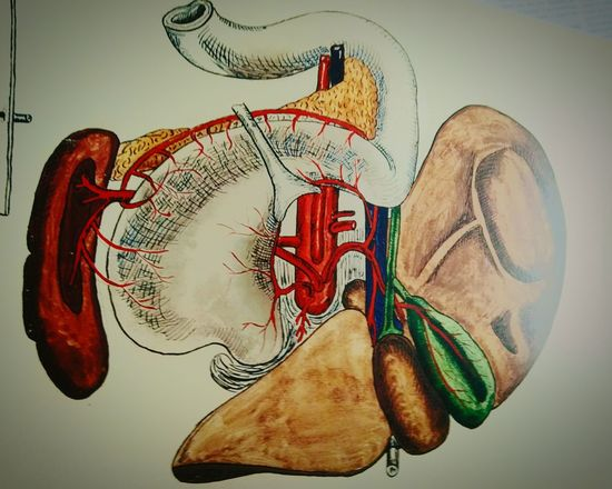 Hepatis Anatomy No People Day Indoors  Close-up Picture Anatomical Model Hepatica