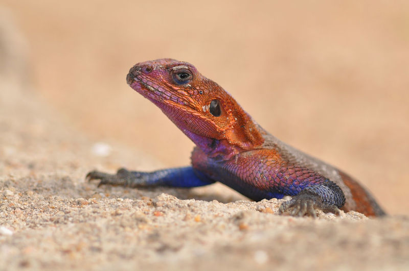 Red head rock lizard Animal Themes Animal Wildlife Animals In The Wild Close-up Day Lizard Nature No People One Animal Outdoors Red Head Agama Red Head Agame Red Head Rock Lizard Reptile