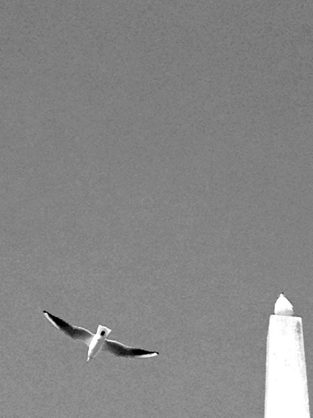 Black & White Clear Sky Mid-air Nature Negative Space Seagull Soaring Up Above Spread Wings