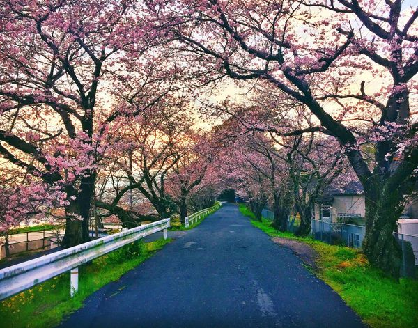 Cherry Blossoms in Iwakuni, Japan Japan Cherry Blossoms Tranquility Scenics Outdoors No People Springtime Travel A Road Less Traveled Exploring Sunset Japan Scenery Japanese Cherry Blossoms Beauty In Nature
