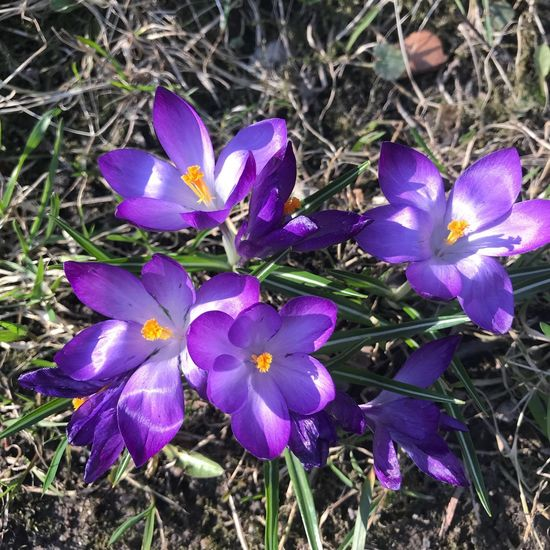 Spring Spring Purple Flower Flowering Plant Plant Beauty In Nature Petal Fragility Nature Day No People Flower Head Freshness Crocus