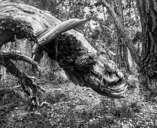 Creepy tree Creepy Tree Face Black And White Monochrome Forest Forest Photography Tree Monster Creepy Face