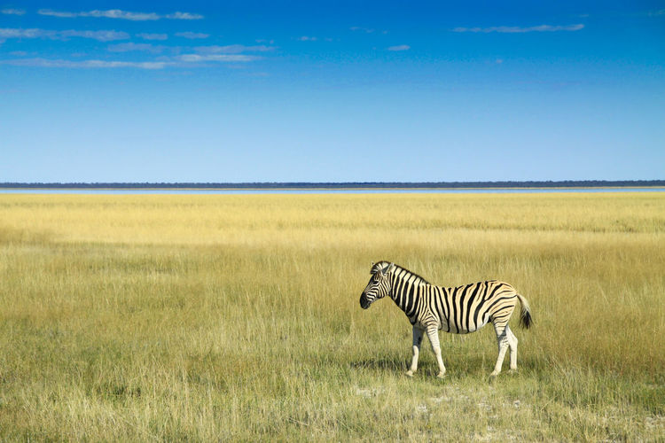 into the far distance Nature Sky Landscape Blue Outdoors Grass Yellow Africa Namibia Horizon Distance Clear Sky Dry Plains Environment Range No People Etosha Vastness Copy Space Plains Zebra Semi-arid Burchells Zebra My Best Photo Animal Themes Animal Wildlife Zebra Striped Animals In The Wild Field Herbivorous Animal The Great Outdoors - 2019 EyeEm Awards