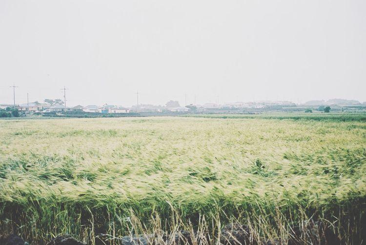A barley field in JEJU ISLAND  Contax T3 Film 35mm Film Kodak Portra Enjoying Life Travel Photography EyeEm Nature Lover Windy