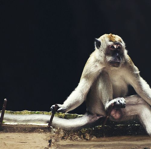 The Guardians of the Batu Caves-temple. Monkeys Rule Sitting Outdoors Guardian Batu Caves -Malaysia