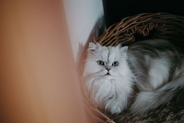 Animals Animal Themes Pets Domestic Domestic Cat Domestic Animals Cat Mammal Feline One Animal Vertebrate Indoors  Portrait Looking At Camera Persian Cat  No People Whisker Relaxation Home Interior Animal Eye Chinchilla