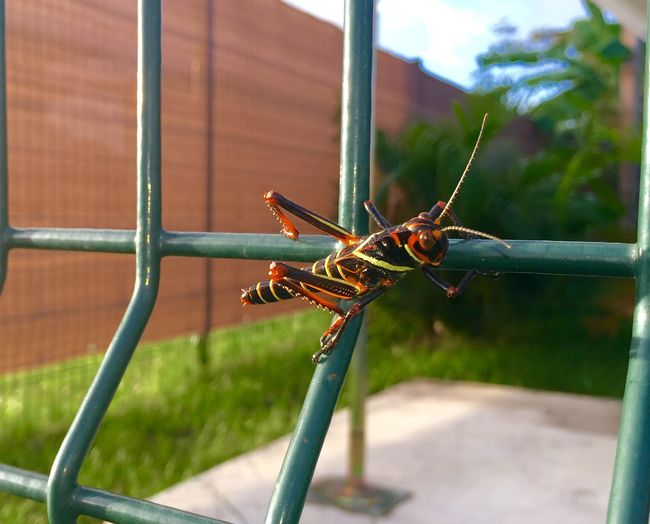 Close-Up Of Grasshopper On Metal Fence