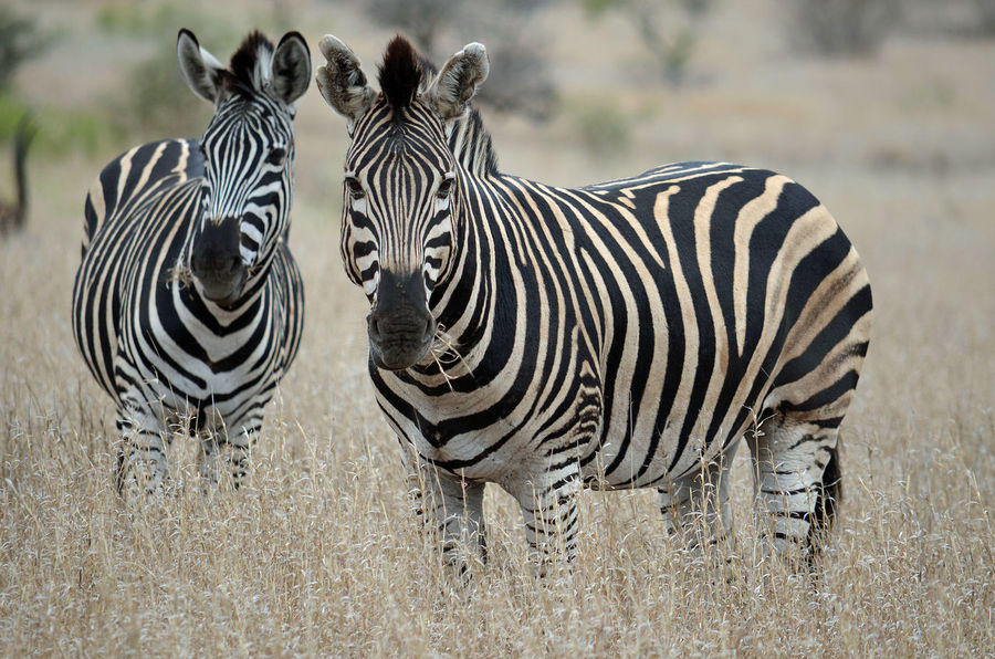 Kruger National Park, South Africa Animal Themes Animal Wildlife Animals In The Wild Day Full Length Grass Mammal Nature No People Outdoors Safari Animals Striped Zebra Perspectives On Nature