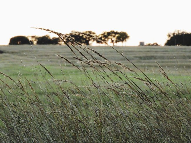 Sunset in the grassland Field Grass Nature Landscape Agriculture Rural Scene Wheat Focus On Foreground No People Growth Outdoors Cereal Plant Day Beauty In Nature Sky Close-up