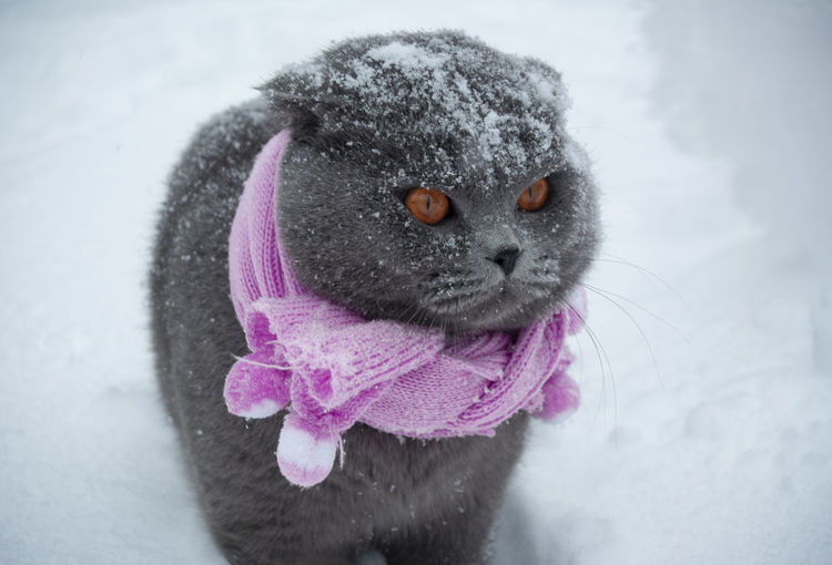 Mammal Cold Temperature Animal Animal Themes Pets One Animal Domestic Winter Domestic Animals Snow Close-up Pink Color No People Whisker Portrait Clothing Warm Clothing Animal Body Part Scarf Animal Wildlife Cat In Scarf Snowflakes Vertebrate Brown Eyes In Snow