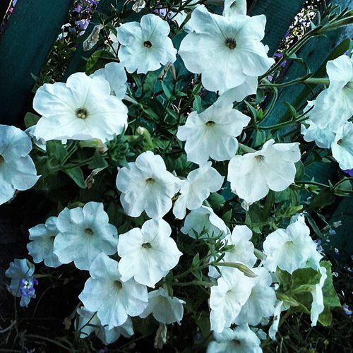 цветы Flowers Природа петунья белые_петуньи лето