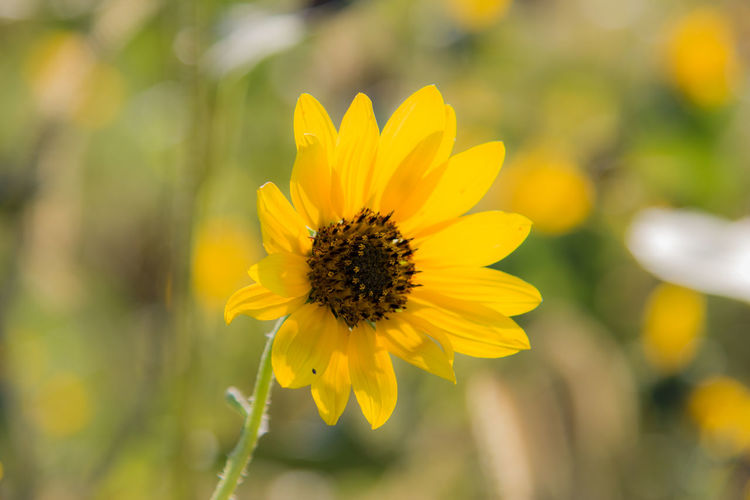 Wildflower Blooming Canon60d Canonphotography Close-up Flower Focus On Foreground Petal Plant Wild Sunflower Yellow