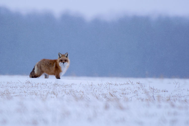 Fox on snow field during winter