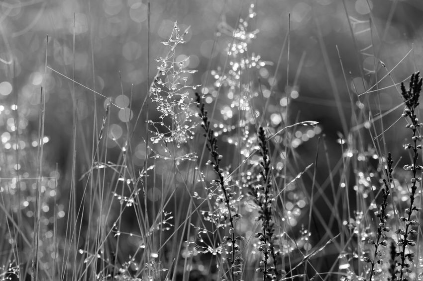 Celebrating the morning in the forests of The Veluwe, The Netherlands - Dewdrops on the grass on the heath Black & White Black And White Blackandwhite Blackandwhite Photography Dew Forest Forest Photography Forestwalk Grass Grassy Morning Morning Light Nature Nature Photography Nature_collection Naturelovers