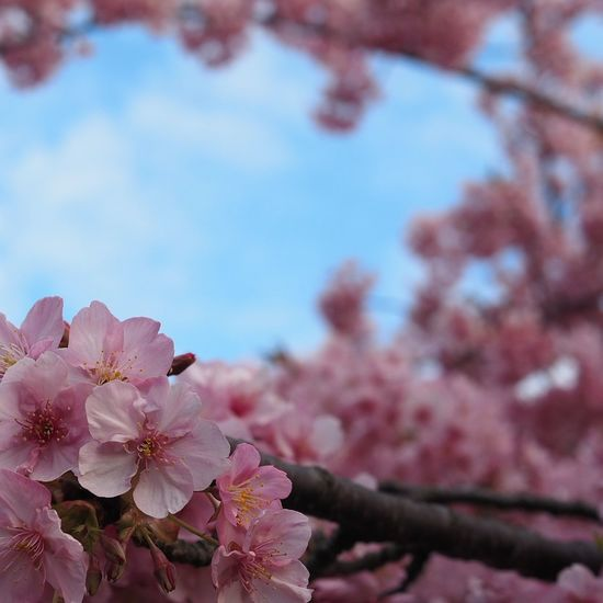 Flower Springtime Pink Color Nature Beauty In Nature Tree Flower Head Sky One Tree Cherry Tree Hill Hilltop Taking Photos Taking Pictures Japan EyeEm Nature Lover Japan Photography