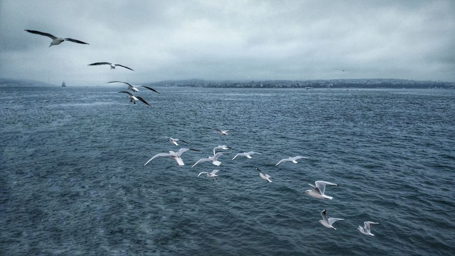 Seagull S Over Bosphorus Bird FlyingFlock Of Birds Sea Life First Eyeem Photo Bosphorus, Istanbul