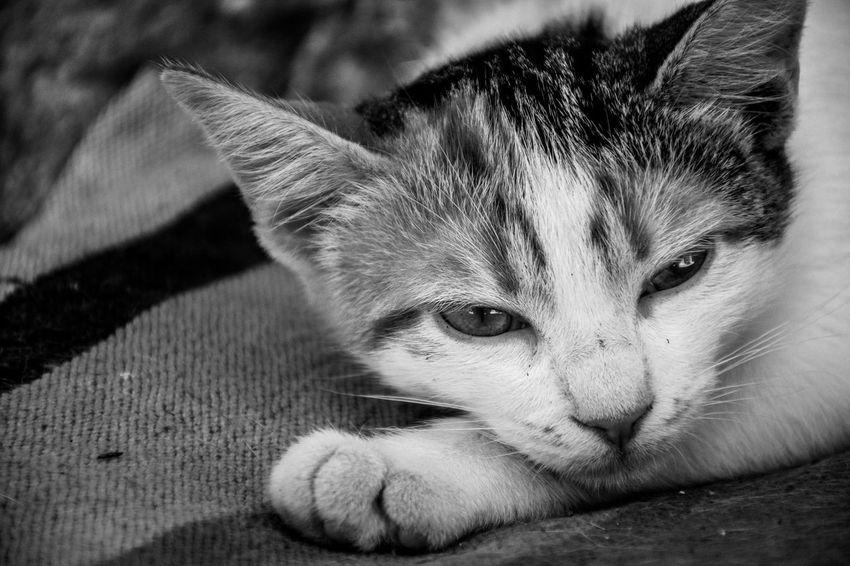 Don't cry because it's over. Smile because it happened. Black & White EyeEm Gallery EyeEmNewHere The Week on EyeEm Animal Animal Eye Animal Head  Animal Themes Cat Close-up Domestic Domestic Animals Domestic Cat Feline Focus On Foreground Looking At Camera Lying Down Mammal No People One Animal Pets Portrait Relaxation Resting Whisker