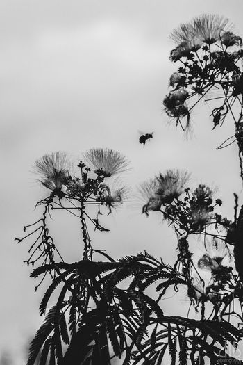 Balck And White Beauty In Nature Bee Black & White Close-up Day Flower Flower Head Flowers Fragility Freshness Growth Low Angle View Nature No People Outdoors Plant Sky Tree