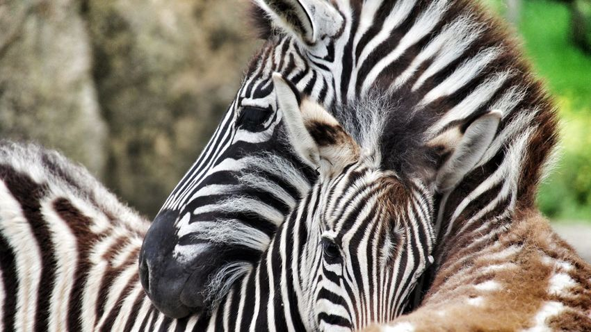 Love Without Boundaries Zebra Mother Animal_collection Animal Photography Animal Love Black&white Eye4black&white  EyeEm Nature Lover Eye Em Nature Lover Relaxing Love♥ Dream Enjoying Life RePicture Motherhood Peace And Quiet Lovely Mothernature Animal Themes Dreaming Natural Live To Learn From Where I Stand Zoo Animals  Close-up