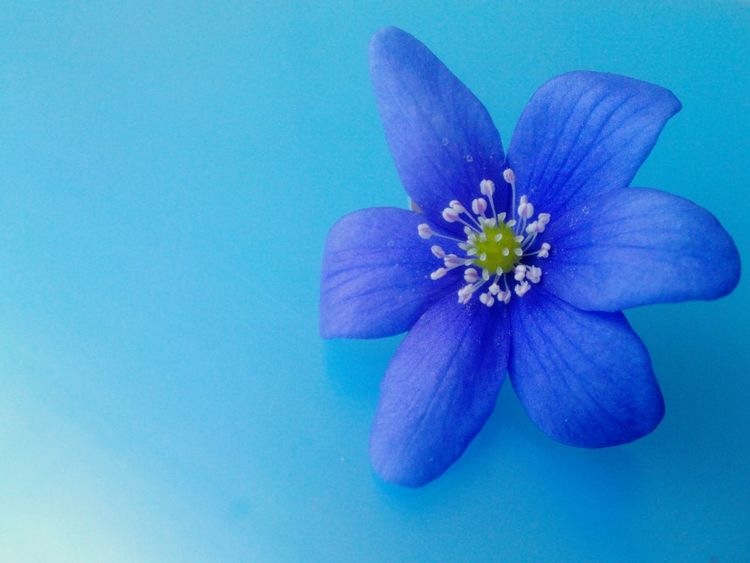 Blue Wave Blue Blossom Anemone Hepatica Flowers_collection Macro Beauty Fresh Flowers Beautiful Nature Perfection Inspirational