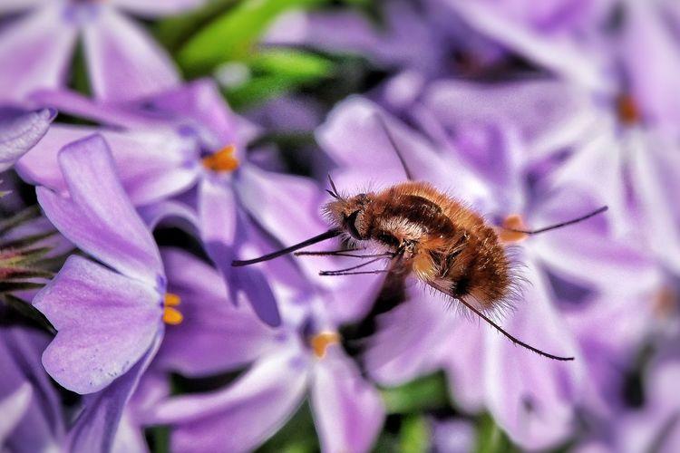 Humbleflies Bee