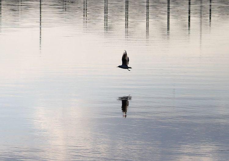 Seagull Water Waterfront Reflection Lake Real People Vertebrate Animal Wildlife