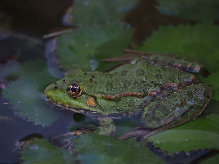 Close-up of frog floating on leaves in pond