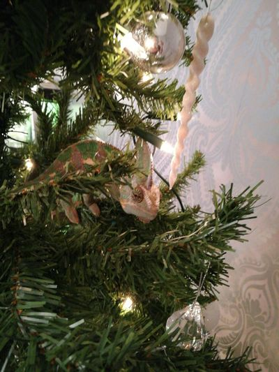 Steve the Chameleon in the x mas tree. Tree Branch Christmas Tree Christmas No People Can You See Me Hide And Seek With Steve Chameleon Tree Steve The Chameleon Green Color Leaf