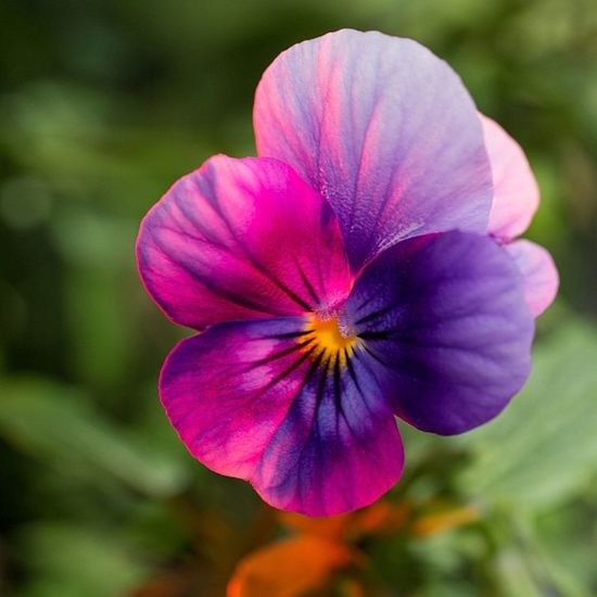 #flower #plant #heartsease #purple #nature #macro #pori #finland Nature Flower Macro Purple Plant Finland 20likes Pori Jj_forum_0522 Heartsease