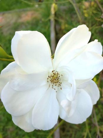 Nature Let's Go. Together. White Rose Seven Hills White Rose Sydney