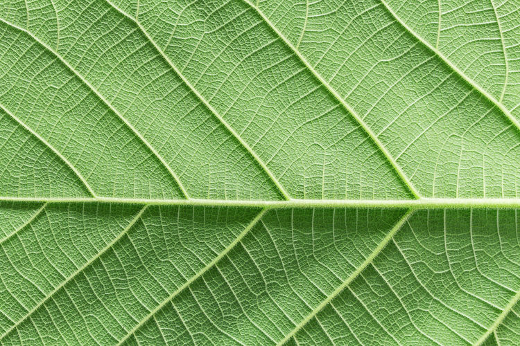 The back of the leaves Leaf Plant Part Green Color Full Frame Leaf Vein Backgrounds Close-up No People Nature Plant Textured  Macro Extreme Close-up Pattern Beauty In Nature Natural Pattern Vulnerability  Fragility Freshness Outdoors Textured Effect Brightly Lit