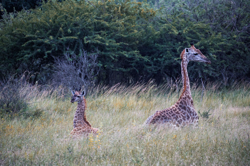 Canonphotography Baby Babygiraffe Canon Travel Photography Beautiful Love Giraffe Animal Themes Animal Wildlife Animals In The Wild Animal Plant Grass Nature Tree No People Group Of Animals Environment Outdoors Day Giraffe Two Animals