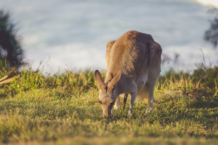 Kangaroo grazing in a field