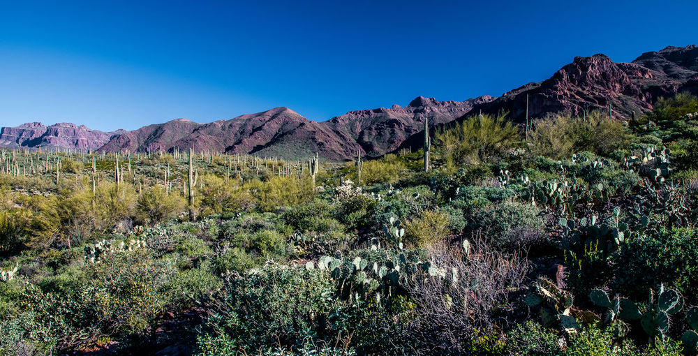 Suguaro cactus in the Superstition Mountain foothills. Arizona Cacti Cactus Clear Sky Landscape Mountain Nature No People Suguaro Cactus Superstition Mountains