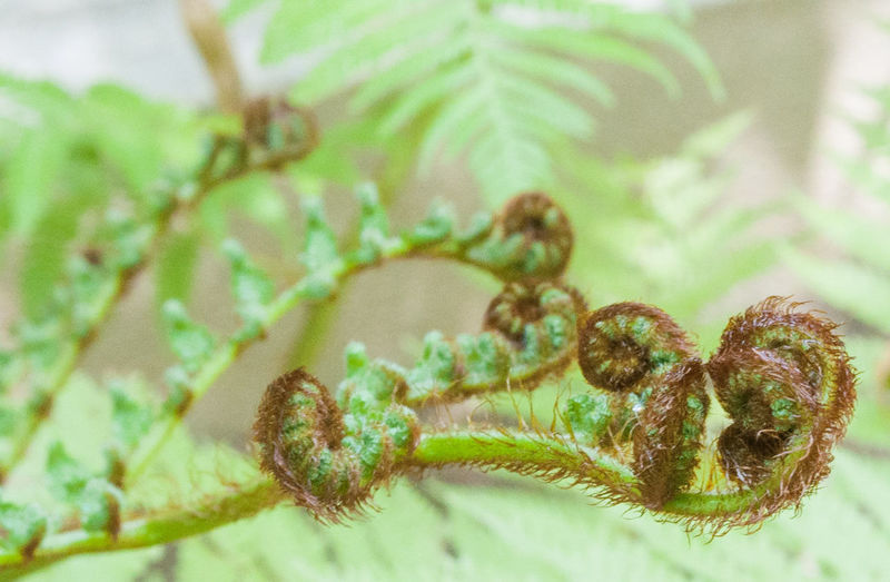 Fern fronds Greenery Up Close Green Primordial Plant Botony Spiral Fern Fronds Fern Fronds