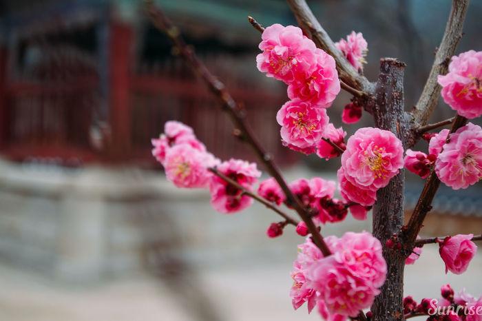 Cherry Blossoms Cherry Blossoms Flowers Flowers,Plants & Garden Korea Nature Pink Cherry Blossoms Springflowers Springflowers, Springtime