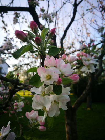Flower Head Tree Flower Branch Springtime Pink Color Blossom White Color Close-up