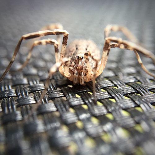 Garden Spider taken on an Iphone 6 with an Olloclip Macro X15 Lens Macro Beauty