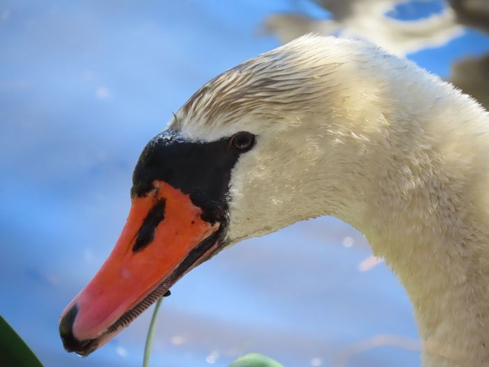 Male mute swan keeping an eye on his babies! Beauty in nature animal themes birds of EyeEm headshot side view Animal Wildlife Bird One Animal Close-up Focus On Foreground No People