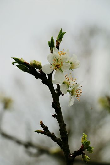 Blossom Flower Tree White Cute Branch Plum Blossom Spring Canon 70d Canonphotography Garden Nature Nature Photography Holland Thenetherlands Netherlands Canon EOS 70D Canon Cloudy Day Cloudy Skies