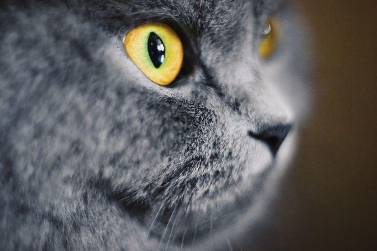 Pet Portraits Depth Of Field Focus Eye British Blue Cat Kitten Cute Fluffy