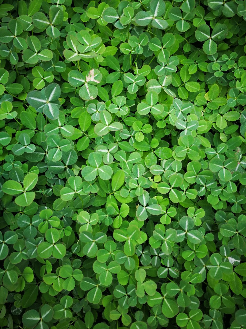 green color, leaf, full frame, backgrounds, plant, growth, no people, high angle view, day, nature, outdoors, abundance, large group of objects, freshness, beauty in nature, close-up, fragility