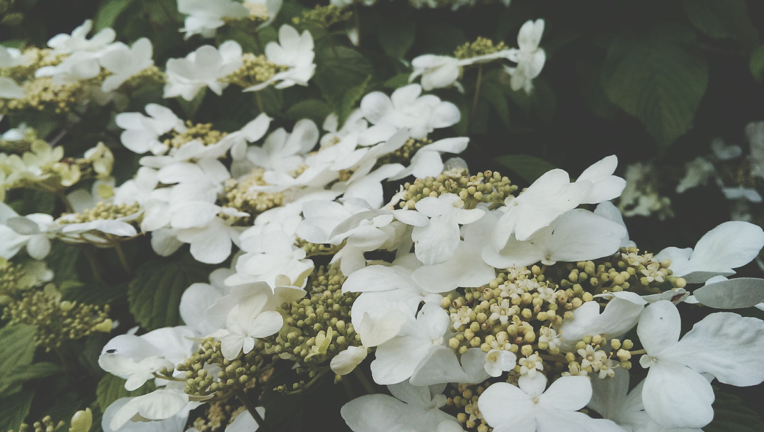flower, white color, growth, fragility, freshness, petal, beauty in nature, nature, plant, flower head, blooming, white, high angle view, abundance, close-up, field, in bloom, leaf, outdoors, day